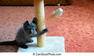 gray kitten playing with scratching post and toys. age 2...