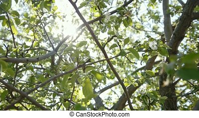 Colorful blooming apple tree in front of summer sun, close...