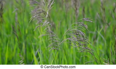 Wild oat grass in field in July - Wild oat grass in a field...