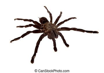 Tarantula spider on white background
