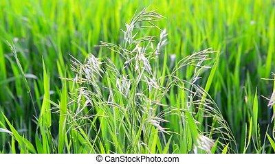 Wild oat grass in field in July on a sunny day - Wild oat...