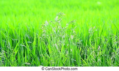 Wild oat grass in field in July on a sunny day - Wild oat...