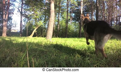 Funny German Shepherd running at the forest in dog point of...