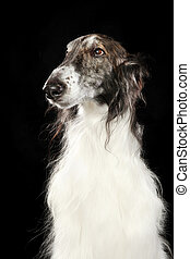 Russian wolfhound dog - Close-up of Russian wolfhound dog on...