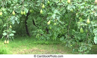 pear tree branch full of fruits move in wind in organic...