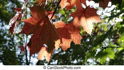 autumn maple leaves on a tree in the woods close-up