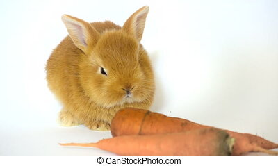 red rabbit with the carrot sitting on a white background