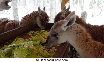 cute llama eating close up - cute llama eating vegetables...