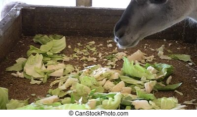 cute llamas eating vegetables close up - cute llamas eating...