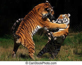 Siberian Tigers in fight - Two Siberian Tigers in fight with...