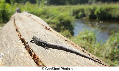 Lizard basking in the morning sun by a river