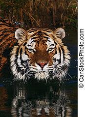Portrait of a Siberian Tiger - Portrait of a Siberian tiger...