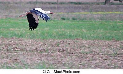 Migrating black and white stork