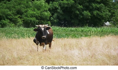 Cow Grazing in a Meadow near the Village - Beautiful cow...
