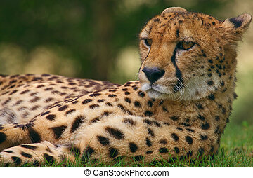 Close-up portrait of a cheetah laying in the grass in a...