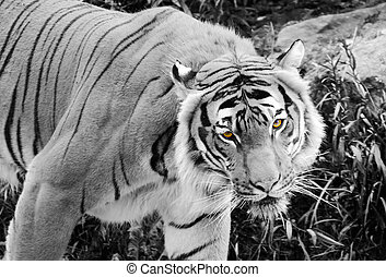 Tiger eyes - Tiger in Black and White with it's eyes in...