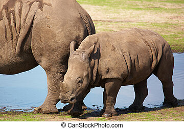 White rhinoceros calf walking on the waterside -...