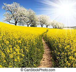 Rapeseed, canola or colza field with parhway, sun and alley...