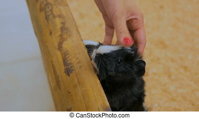 Woman stroking guinea pigs in zoo - Woman stroking guinea...