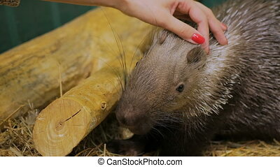 Woman stroke porcupine at zoo. Animal care concept