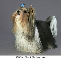Beautiful male Beaver Yorkshire Terrier with bow - Beautiful...