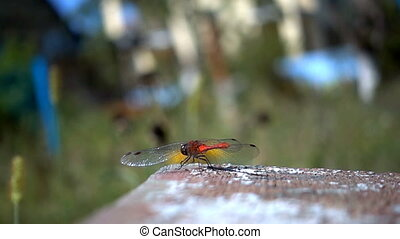 Movement of a red dragon fly. Slow motion - Movement of a...