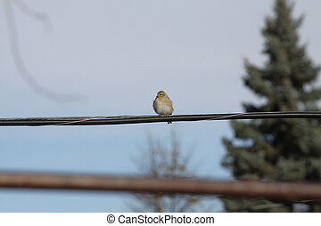 American Goldfinch ( non-breeding)