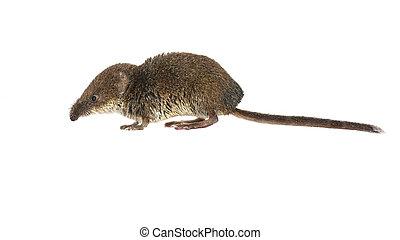 Pygmy shrew on white - Eurasian pygmy shrew (Sorex minutus)...