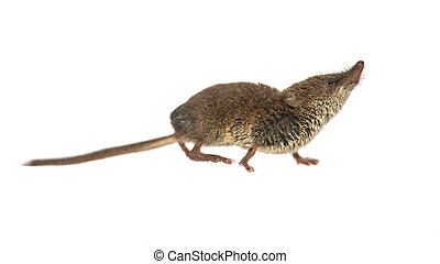 Eurasian Pygmy shrew on white background - Eurasian pygmy...