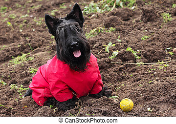 Scottish Terrier in a red jumpsuit