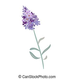 lavender flowers on a white background. - Bunch of lavender...