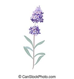 lavender flowers on a white background. - lavender flowers...