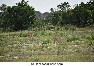 Black Buck Doe Antelope - black buck doe antelope running