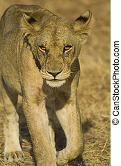 Lion in Mikumi National Park, Tanzania - Walking lion in...