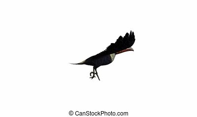 Toucan flying on a white background