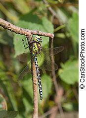 Aeshnidae (hawker) dragonfly on a branch