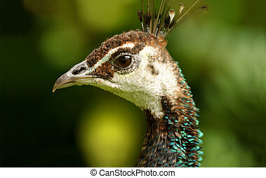 Peacock Female is a detailed closeup head shot of a colorful...