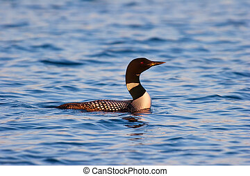 Wild Common Loon At Sunset - Wild Common Loon In Mating...