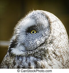 Great Grey Owl (Strix Nebulosa) - Portrait of Great Grey Owl...