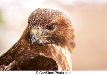 Red Tail Hawk with Snow Flakes on Feathers - Red Tail Hawk...