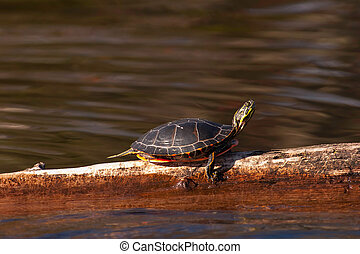 Wild Painted Turtle Sunning Himself On Log - Wild Wisconsin...