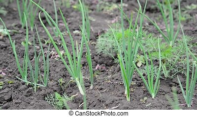 Young green onion on bed - Young green onion on the bed