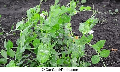 blossoming white beans grow in garden - blossoming white...