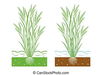 young rice plant with  leaves and water
