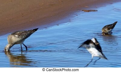 A flock of birds of waders searches for insect larvae and eats them. Birds stick their heads into the water and pick sludge with a long beak. There they find insect larvae and eat them. A sunny autumn day on the shallows of the river