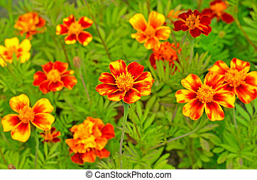 Tagetes flowers in garden, focus on front flower