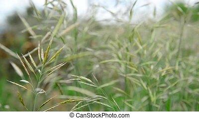 Wild oats wet from rain - A wild oats wet from a rain