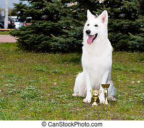White Shepherd seats. - The White Swiss Shepherd is in the...