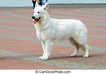White Swiss Shepherd profile. - The White Swiss Shepherd is...