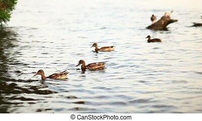 Mallard duck standing by river - Mallard duck standing by...